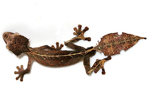 Satanic Leaf-tailed gecko for sale - Uroplatus phantasticus