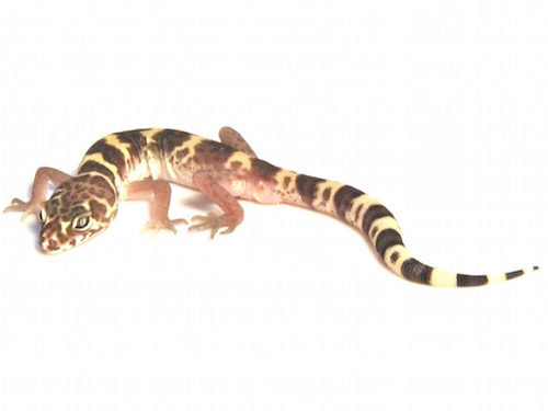 Texas Banded gecko for sale