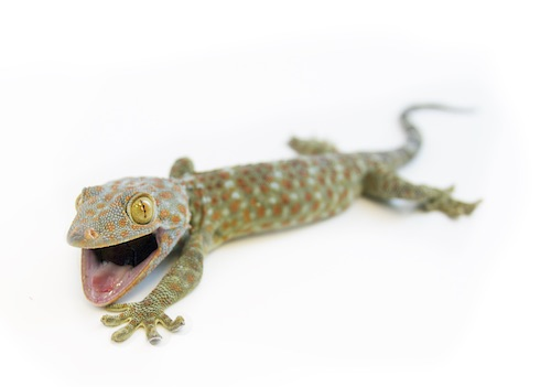 tokay gecko for sale reptiles for sale