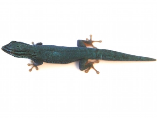 [Image: williams-blue-cave-gecko-for-sale.jpg]