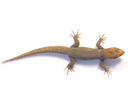 Yellow head gecko for sale
