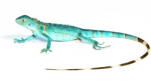 Blue Axanthic Iguana For Sale
