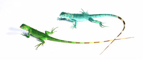 Green Iguana Vs Blue