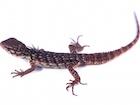 Buy a Clubtail Iguana