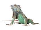 Buy a Green iguana