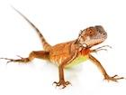 Buy a Red iguana