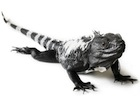 Buy a Spinytail iguana