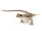 Buy a Desert iguana