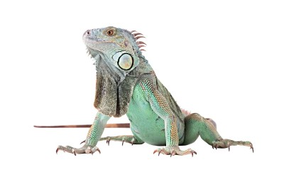 Albino Green Iguana For Sale Green Iguana For Sale
