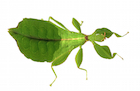 Buy stick insects