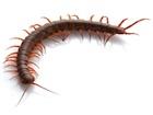 Buy a Vietnamese Centipede
