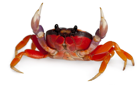 Halloween crab for sale