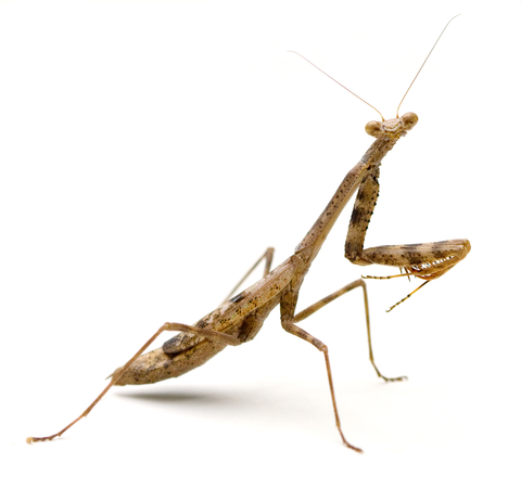Praying mantis for sale