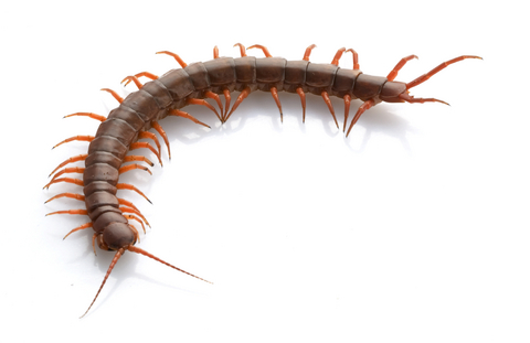 Vietnamese Centipede for sale
