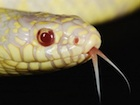 Buy an albino california king snake