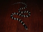 Buy a Black and White California King snake