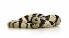 Buy a California king snake