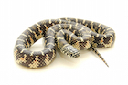 Buy a Florida king snake