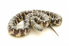 Buy a Florida king snake