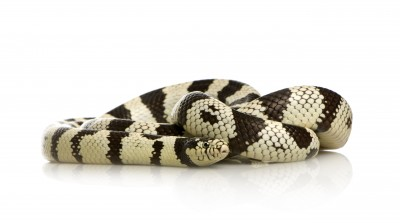 California King Snake for Sale | Reptiles for Sale