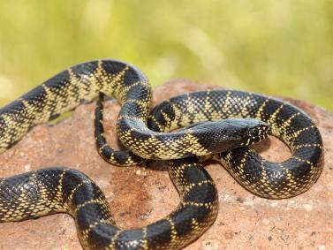 Desert King snake for sale