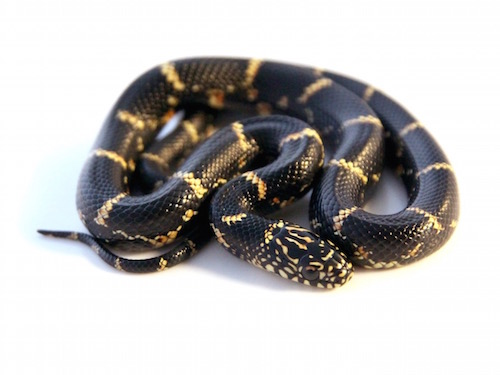 Eastern kingsnake for sale