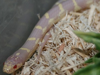 Ruby Eye Lavender King Snake for Sale | Reptiles for Sale