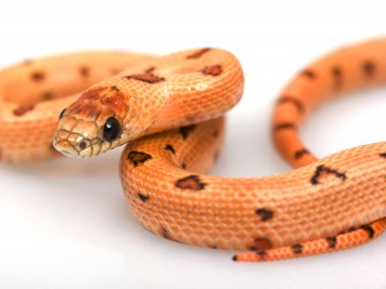 Thayers King snake for sale