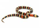 Buy an apricot Pueblan milk snake