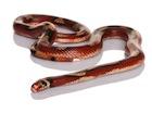 Buy a Nelsons milk snake