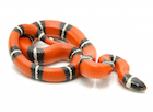 Buy a Sinaloan milk snake