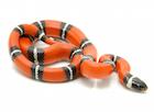 Buy a Sinaloan milk snake