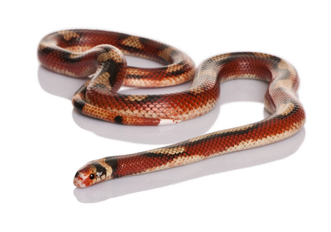 Nelsons milk snake for sale - Lampropeltis nelsoni