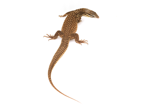 Ackie monitor for sale - Varanus acanthurus