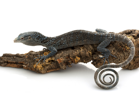 Blue Tree monitor for sale - Varanus macraei