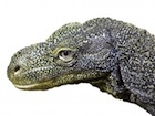Buy a Crocodile monitor