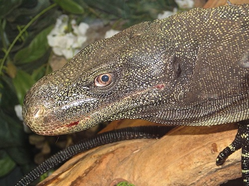 Crocodile monitor for sale