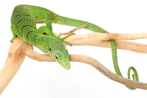 Green Tree monitor for sale - Varanus prasinus