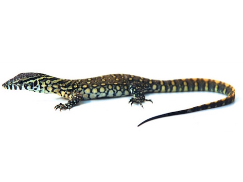 Nile Monitor for Sale | Reptiles for Sale