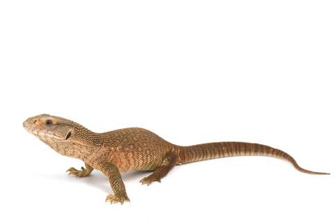 Savannah Monitor for Sale | Reptiles for Sale