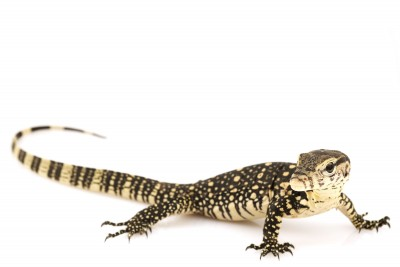 Water Monitor for Sale | Reptiles for Sale