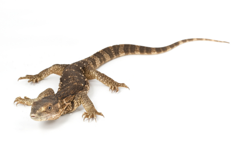 White Throat Monitor for Sale | Reptiles for Sale