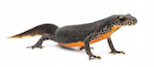 Buy an Alpine newt