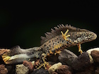 Buy a Crested newt