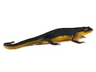 Buy an Eastern newt