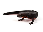 Buy a Fire Bellied newt