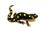 Buy a Lake Urmia newt