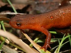 Buy a Red Eft newt
