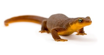 Buy a Rough Skinned newt