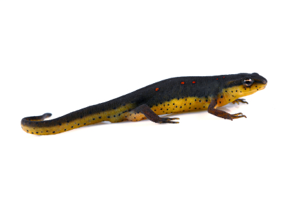 Eastern Newt for sale